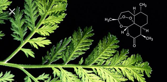 l'armoise bio une plante médicinale anti cancer naturel puissant